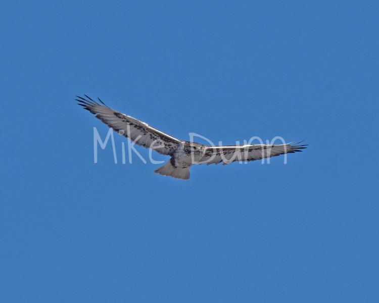 Ferruginous Hawk-16