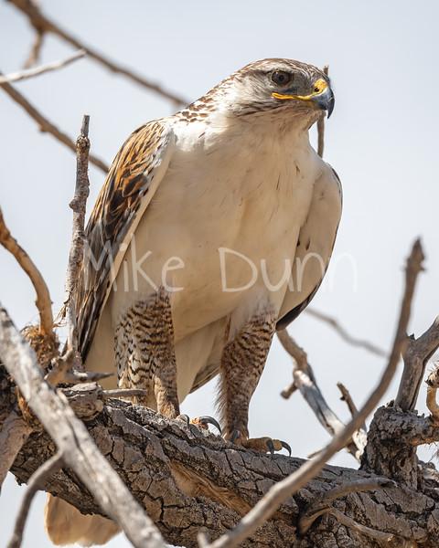 Ferruginous Hawk-159