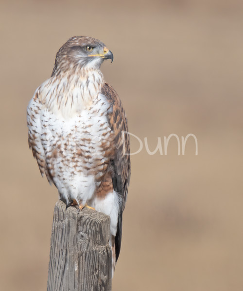 Ferruginous Hawk-121