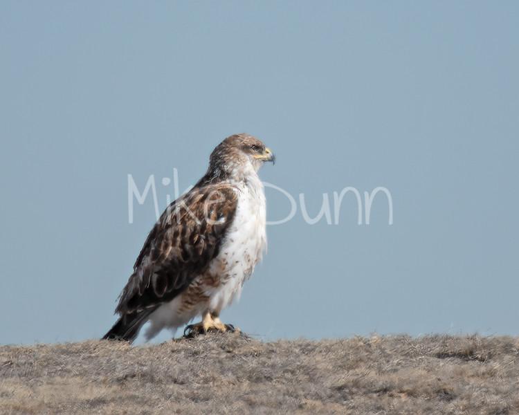 Ferruginous Hawk-60