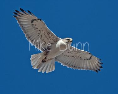 Ferruginous Hawk-201