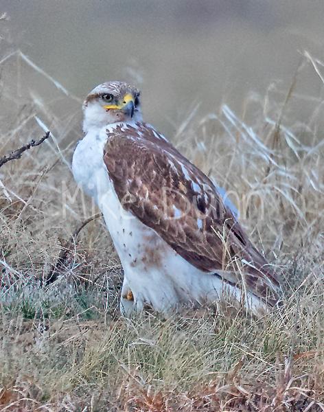Ferruginous Hawk-153