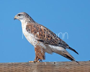Ferruginous Hawk-181