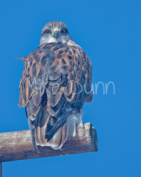 Ferruginous Hawk-179