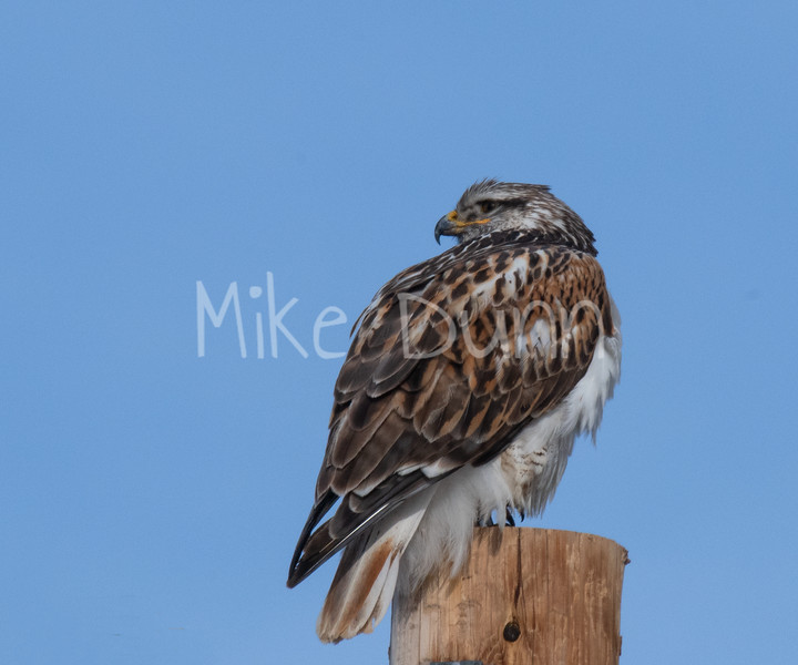 Ferruginous Hawk-41