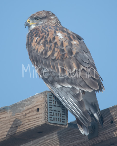 Ferruginous Hawk-119
