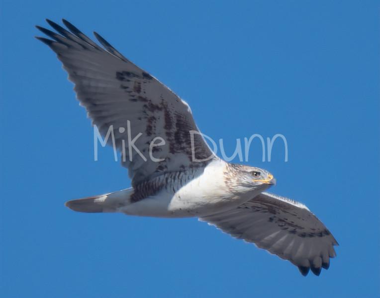 Ferruginous Hawk-125