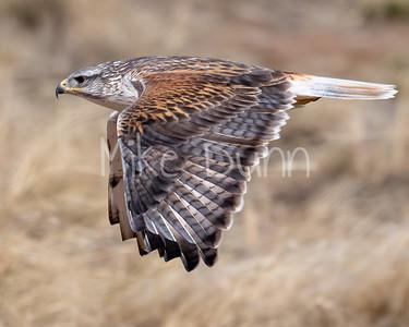 Ferruginous Hawk-149