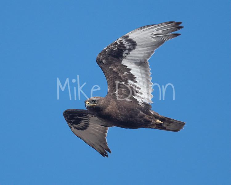 Ferruginous Hawk-151