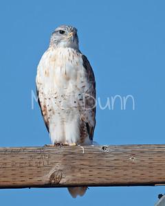 Ferruginous Hawk-180