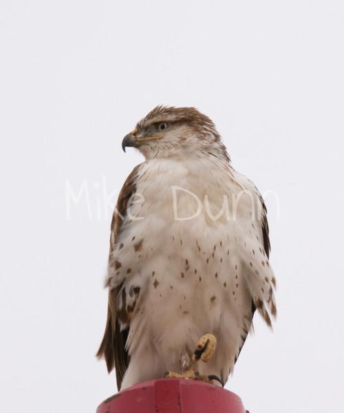Ferruginous Hawk-33