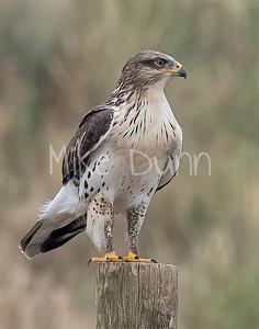 Ferruginous Hawk-210