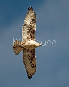 Ferruginous Hawk-141