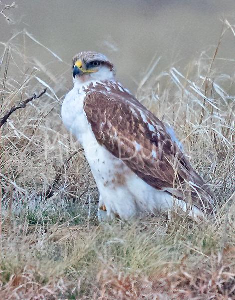 Ferruginous Hawk-154