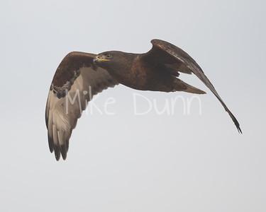 Ferruginous Hawk-199