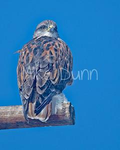 Ferruginous Hawk-178