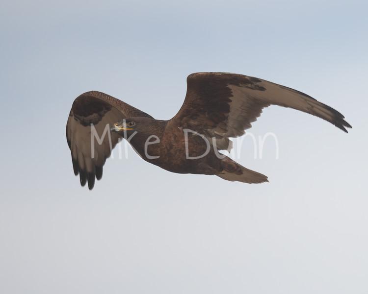 Ferruginous Hawk-193