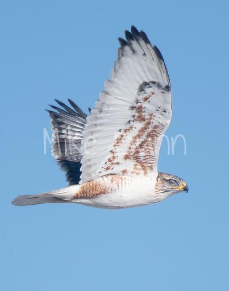 Ferruginous Hawk-131