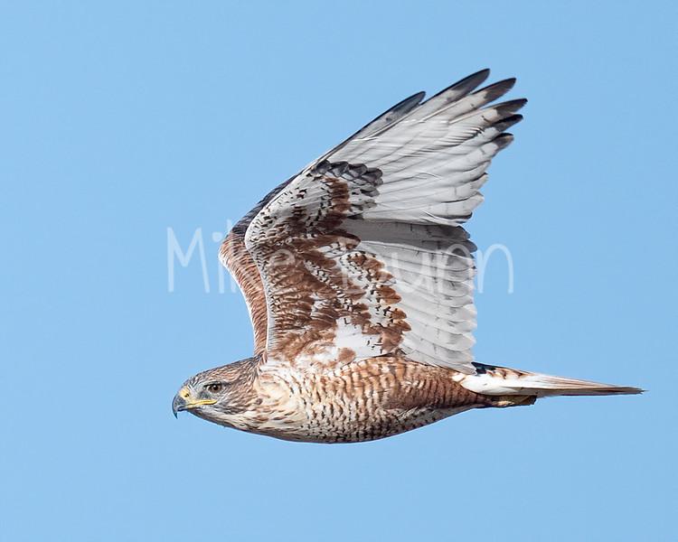 Ferruginous Hawk-183