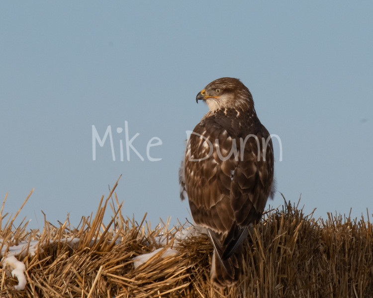 Ferruginous Hawk-31