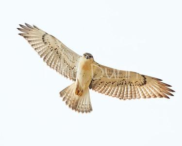 Ferruginous Hawk-213
