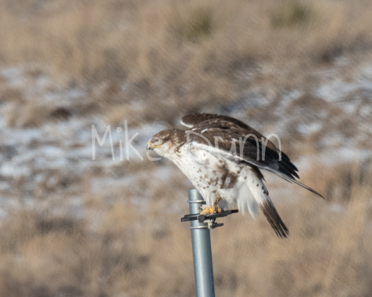 Ferruginous Hawk-40