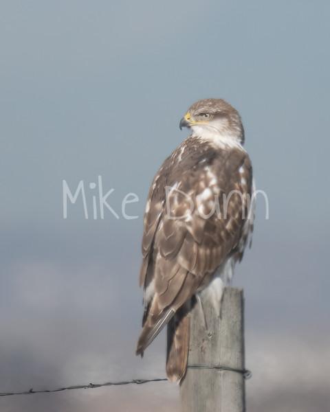 Ferruginous Hawk-87
