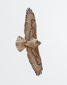 Ferruginous Hawk-150