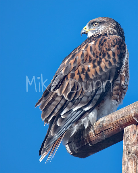 Ferruginous Hawk-134