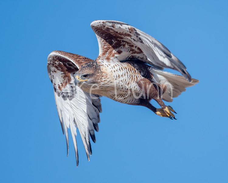 Ferruginous Hawk-188