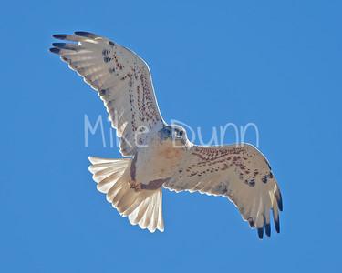 Ferruginous Hawk-174