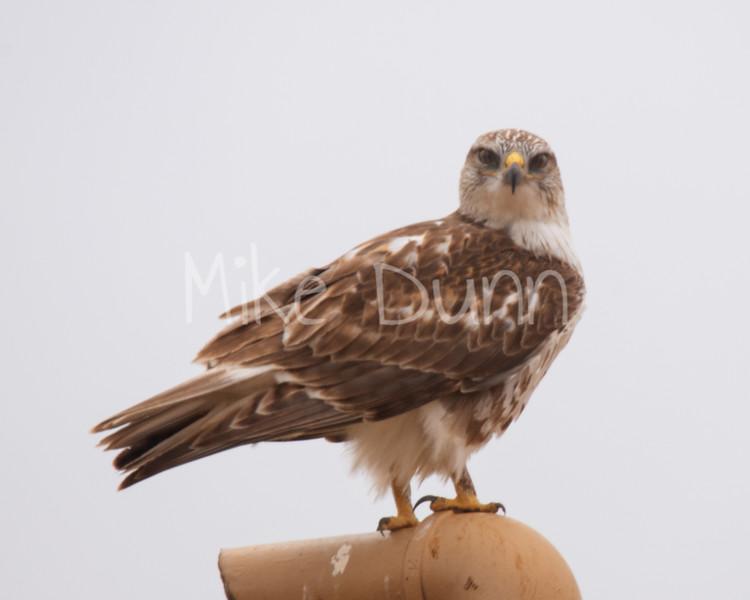 Ferruginous Hawk-76