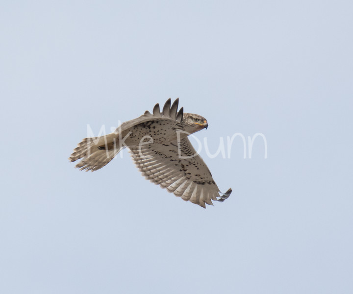 Ferruginous Hawk-48