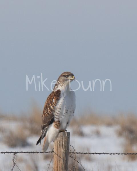 Ferruginous Hawk-12