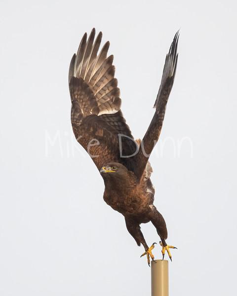 Ferruginous Hawk-200