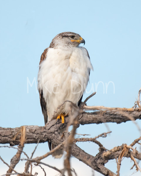 Ferruginous Hawk-106