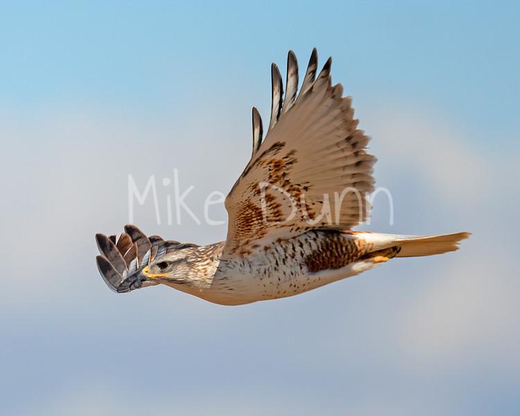 Ferruginous Hawk-148