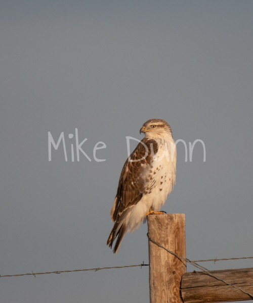 Ferruginous Hawk-3