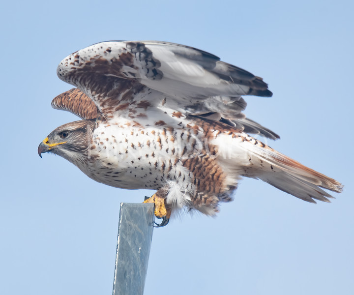Ferruginous Hawk-138