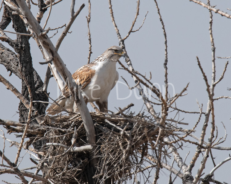 Ferruginous Hawk-43