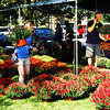 Debbie Blank | The Herald-Tribune<br /> Amy Fasbinder, Indianapolis, choses just the right mums from a sea of hues grown by W.J. Strassel & Sons, Moores Hill.