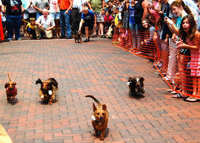 Debbie Blank | The Herald-Tribune<br /> It was surprising how many competitive dachshunds there are in this area.