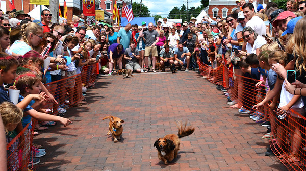 Diane Raver | The Herald-Tribune<br /> Once the race began, the dachshunds were off and running.