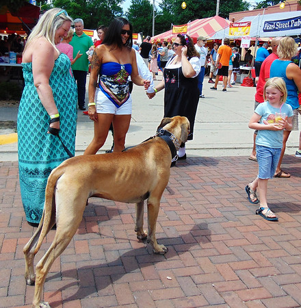 """Debbie Blank   The Herald-Tribune<br /> Great Dane Ares (counterclockwise), as tall as the girl studying him, showed up to watch little dachshunds run. He's with owner Alisa Salvestrini, Goshen, Kentucky, and friend Joy Duguid, Marengo, who said, """"We love coming to Oldenburg."""""""