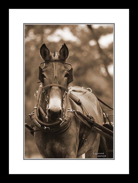 Mule days