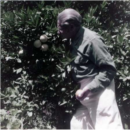 Feuchtwanger standing next to an orange tree, holding picked orange and facing to the left, Pacific Palisades, Calif., 1957