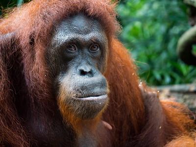 Breakfast with orang utans