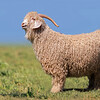 Angora goat - Mohair