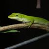 Green Anole (Polychrotidae, Anolis carolinensis)