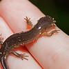 Small-mouthed salamander (Amystomatidae, Ambystoma texanum)